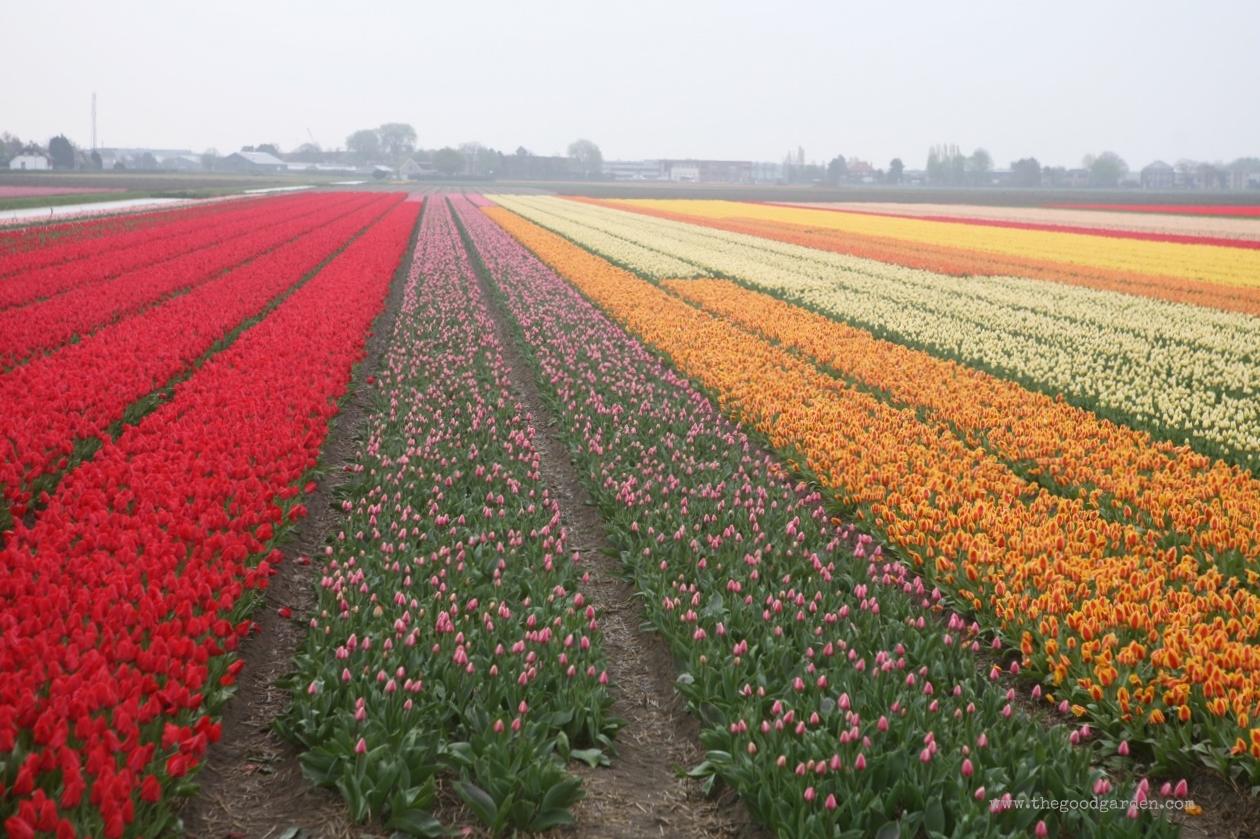thegoodgarden|tulipfields|netherlands2783.jpg