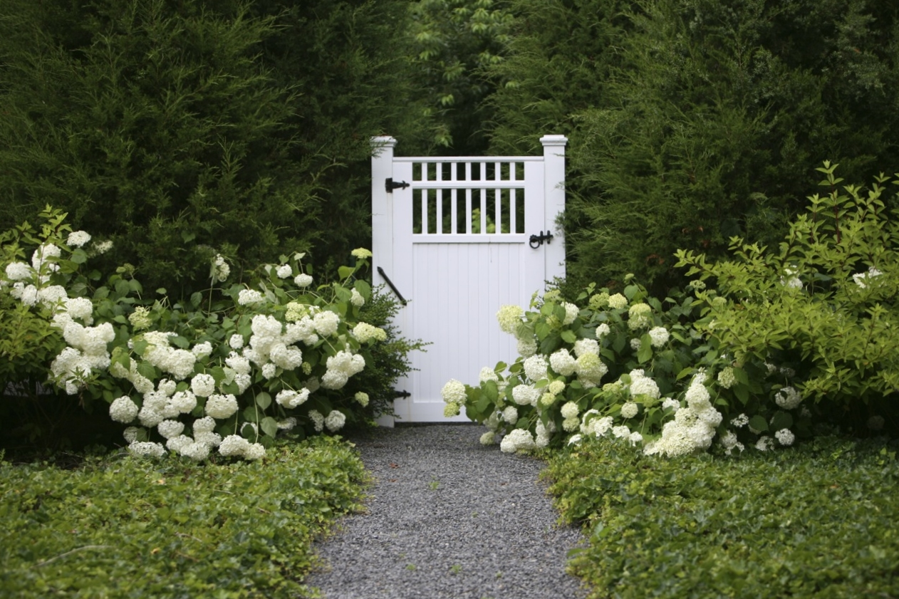 White hydrangeas flank a tall white picket gate in East Hampton, NY.