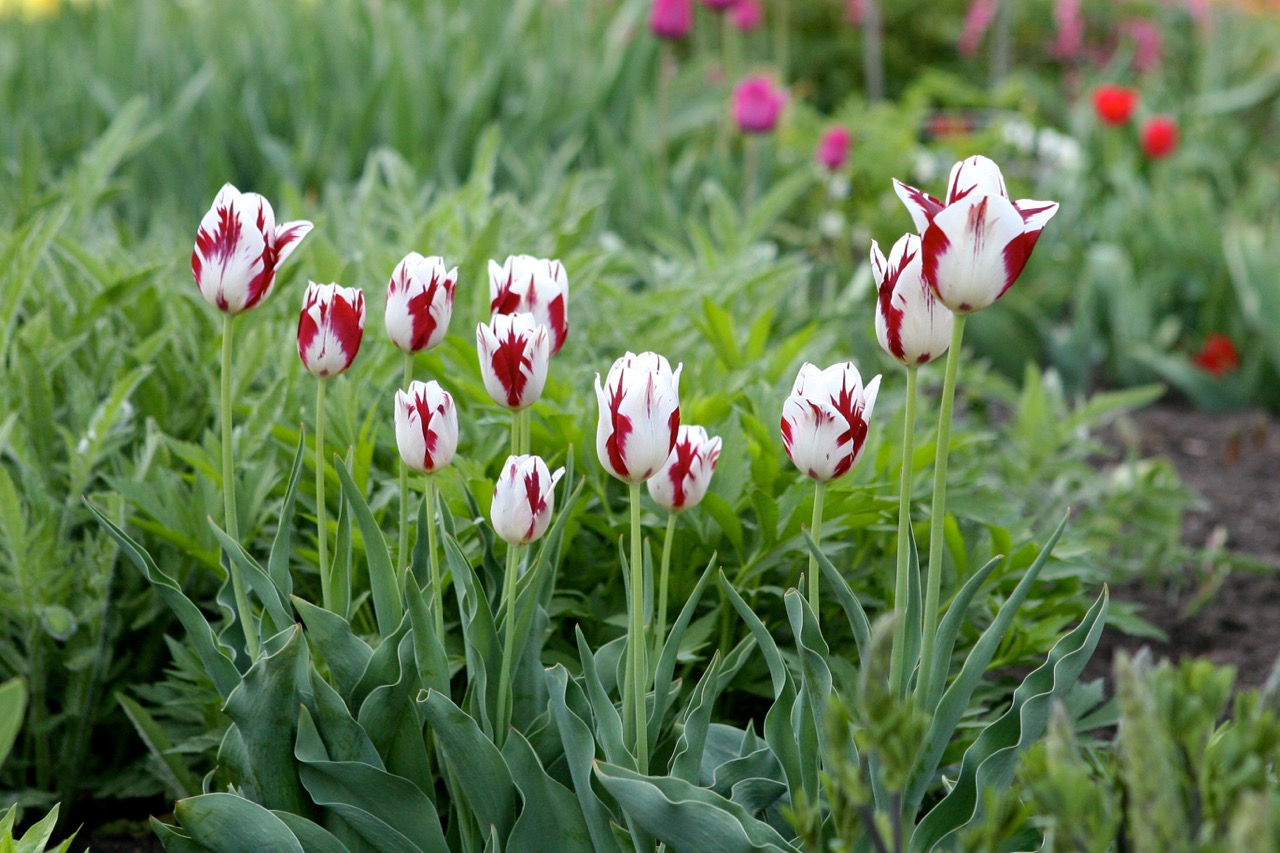 A group of red and white striped tulips remind me of the famous 'Semper Augustus' variety.  In the 1600's these were so rare that it was cheaper to commission a grand master painting of this tulip than to own one.
