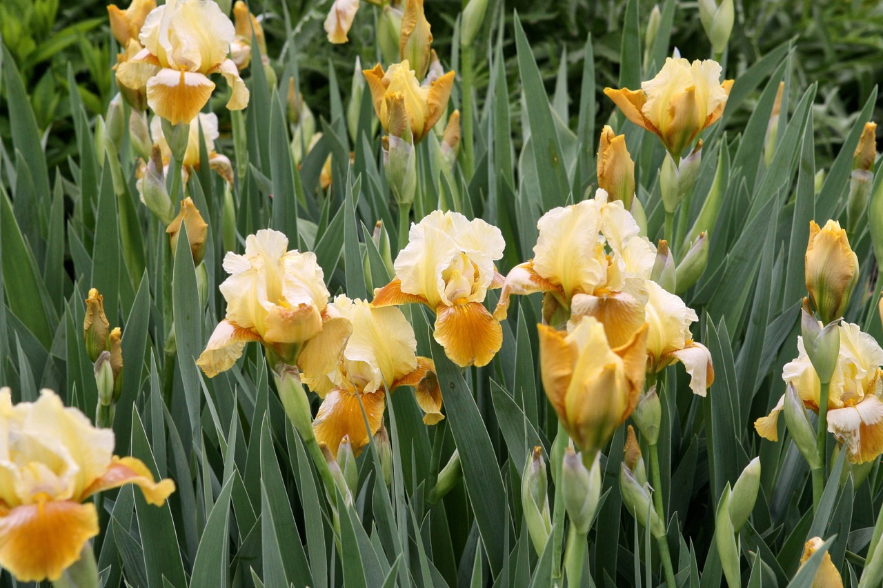 The iris, named after the Greek goddess who traveled on rainbows to link heaven and earth, plays a key role in the garden.  They are planted   in drifts   to   increase their impact.