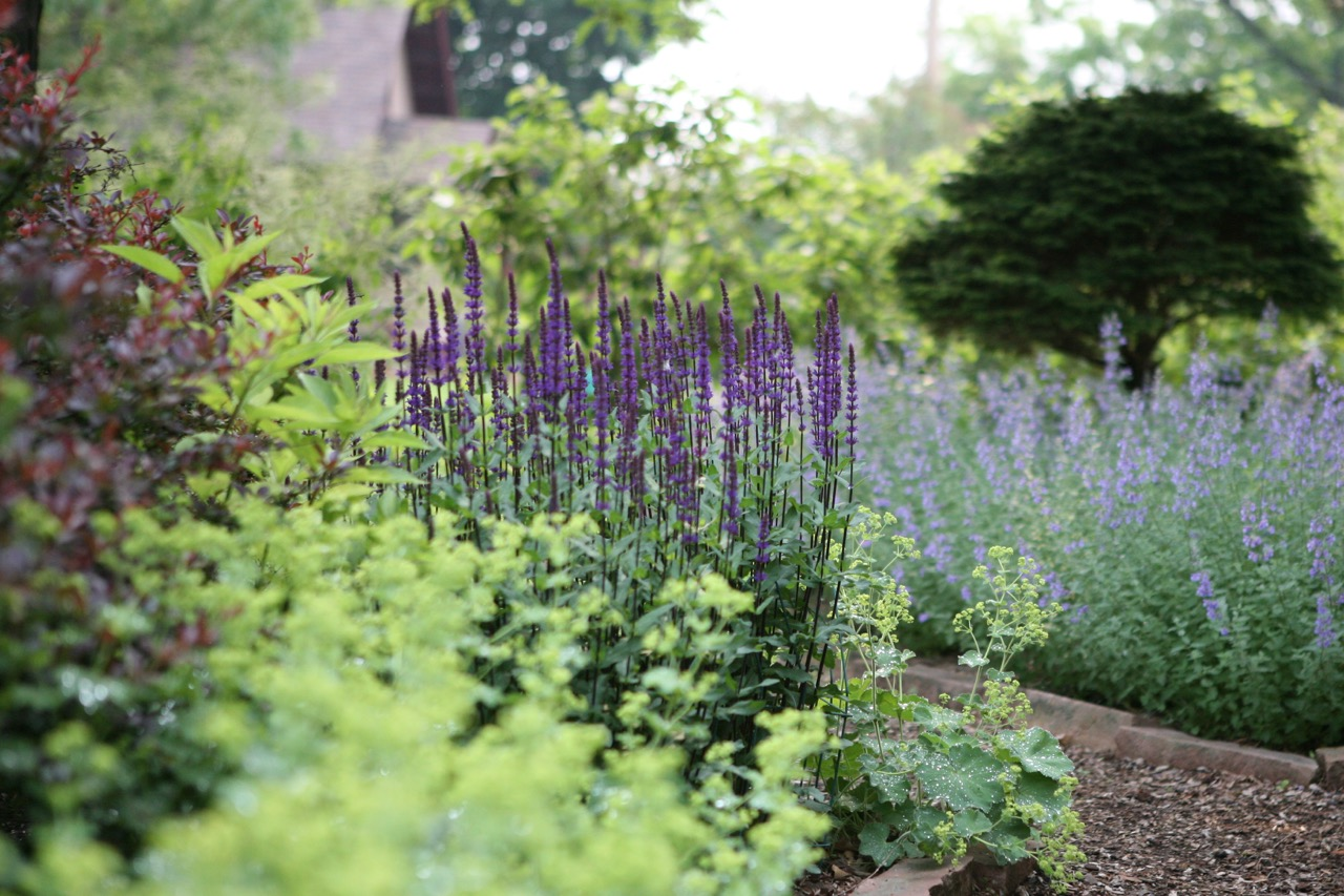 A painterly combination: perennial salvia, ladies mantle, and cat mint.  Note how the little gem spruce creates a focal point and draws the eye to the back.