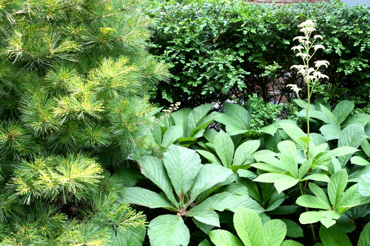 Pine, boxwood and Rodgersia   show how even an all green planting can create interest through shape, tone, and texture.