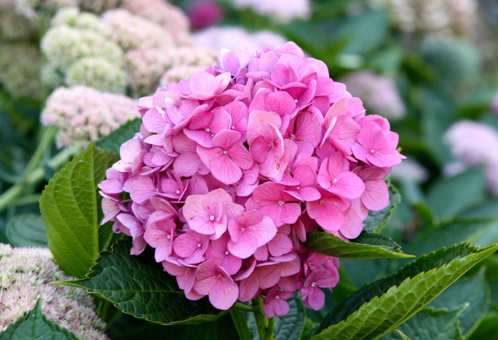 Hydrangea of all types play a key role in the garden.
