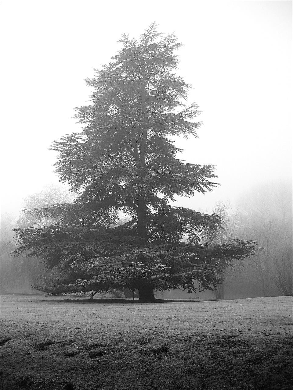 A majestic specimen atlas cedar, a native of Morocco and Algeria, creates a dramatic picturesque backdrop to the garden.