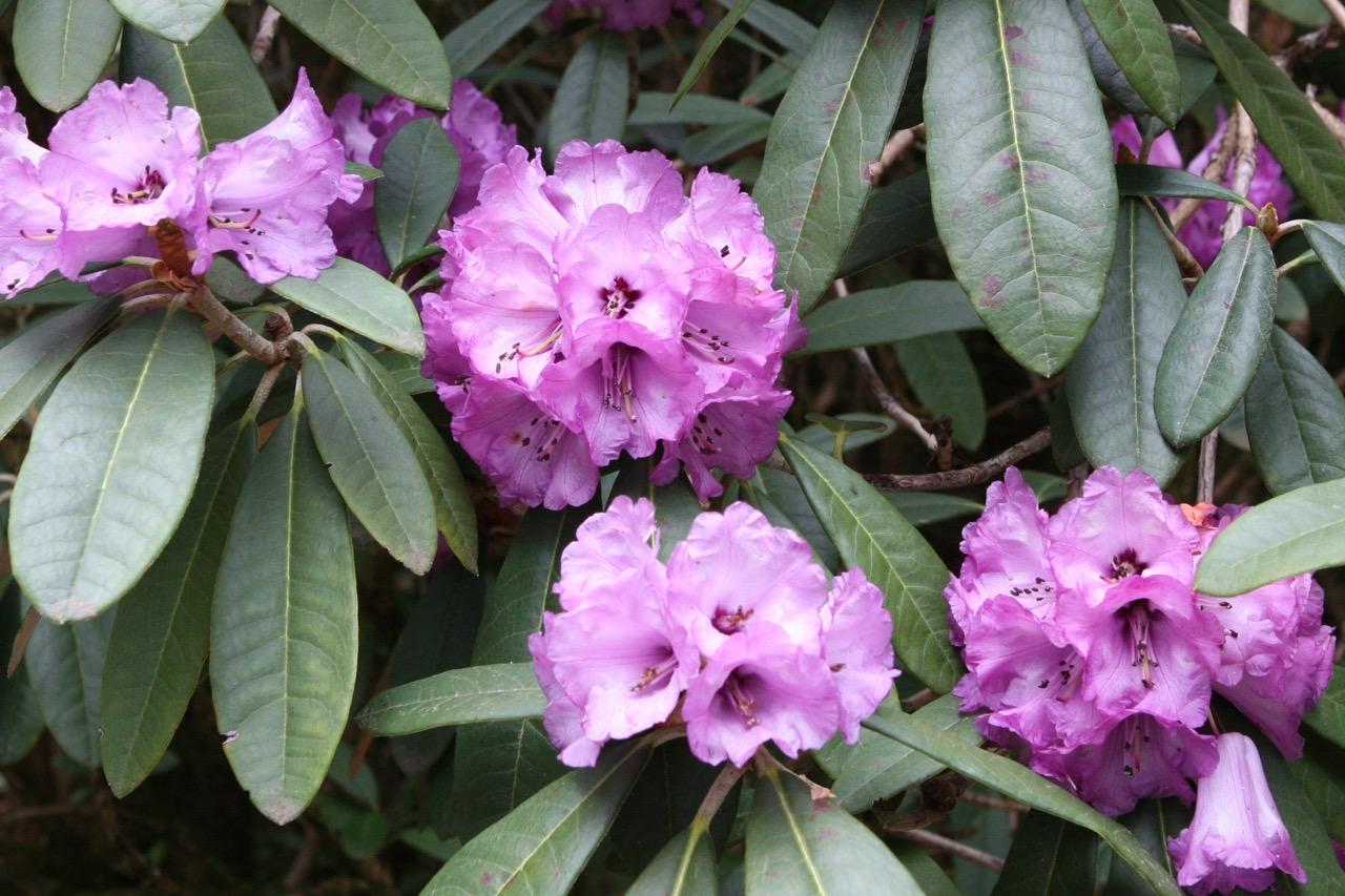 thegoodgarden|davidcalle|usrhododendrongarden_2772.jpg