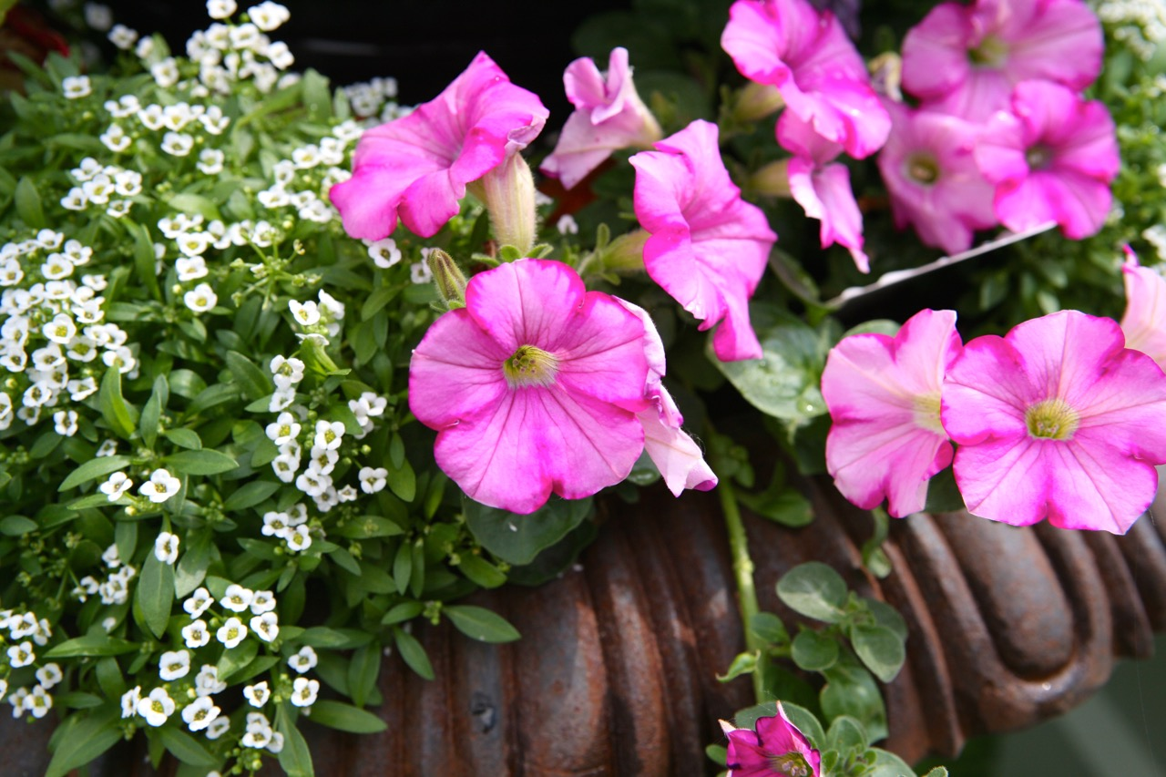 Alyssum and petunias make a wonderful combination.  These hard working annuals will bloom all season.