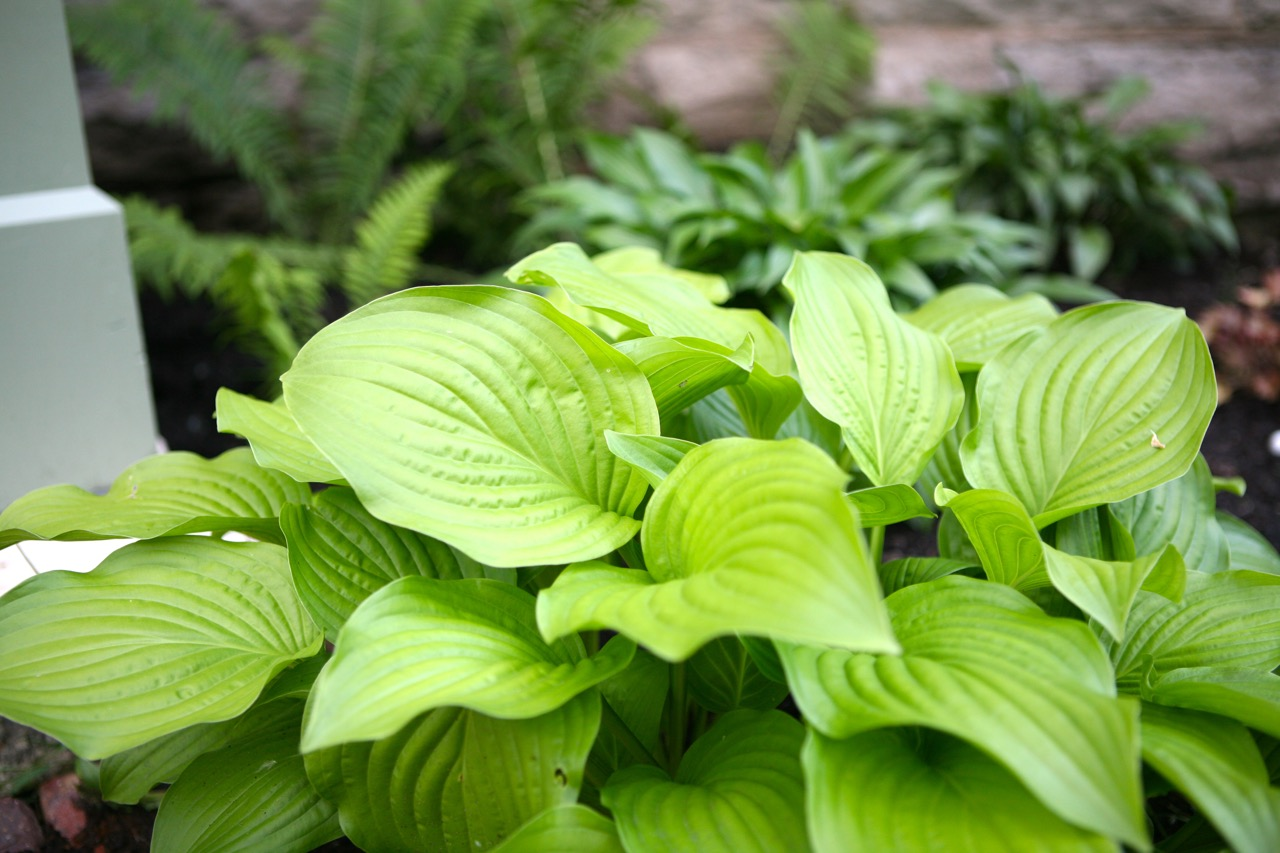 The shady front border has just been planted with several varieties of   hosta  .