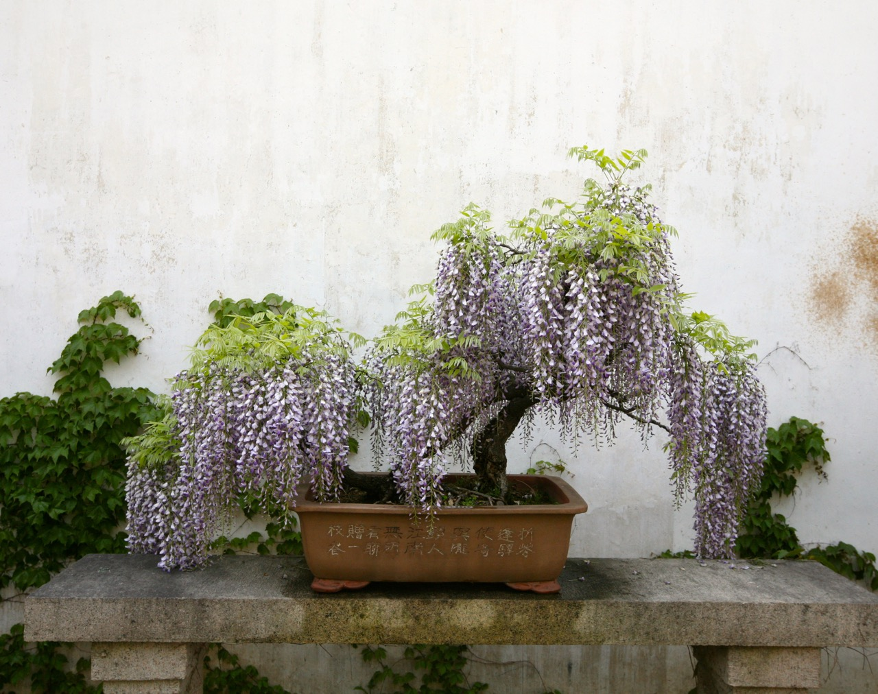 A wisteria tray landscape. Wisteria are given as gifts to wish good luck to a friend embarking on a new venture.