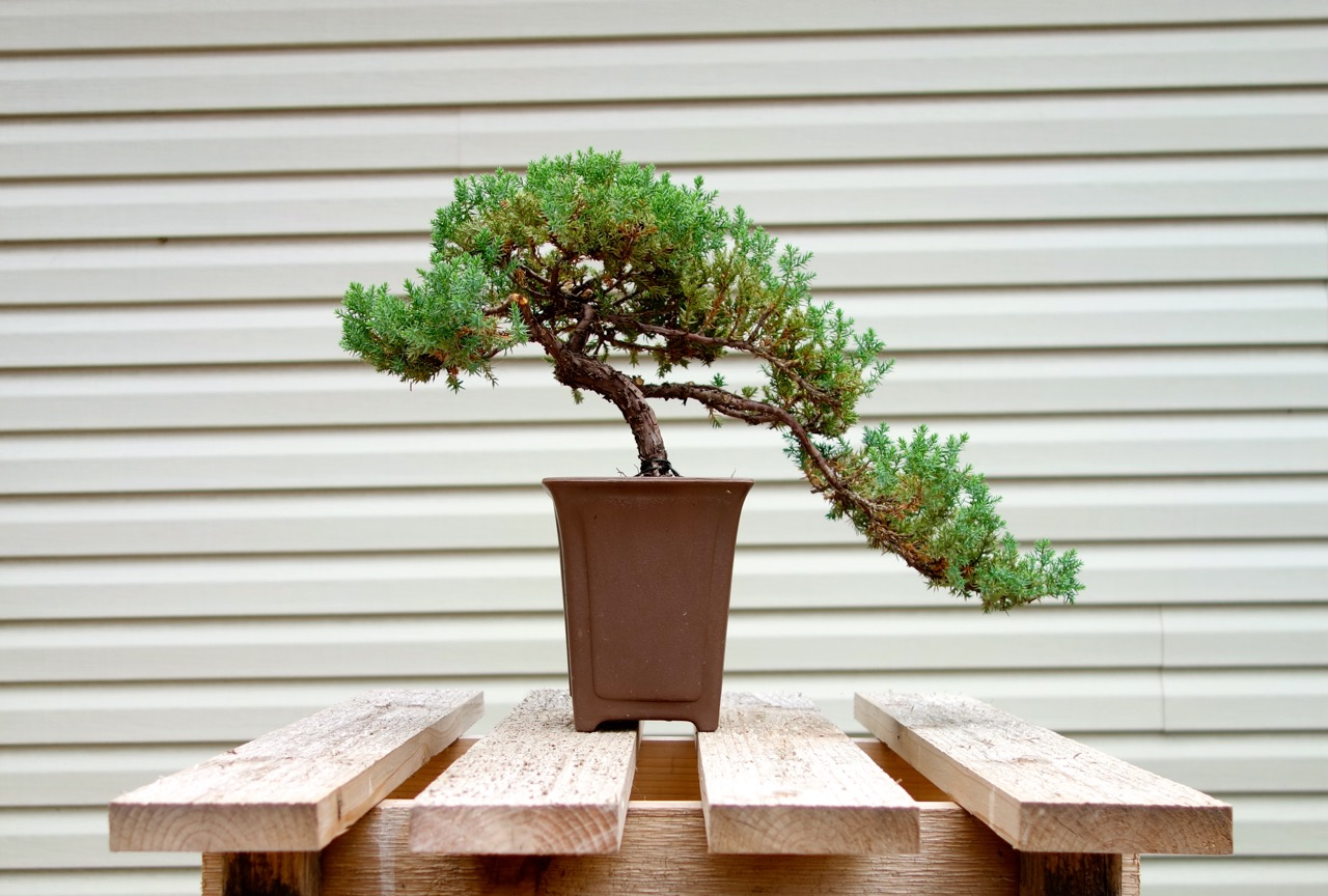 "This 6 year old juniper has been trained into a traditional style of bonsai called ""cascade."""