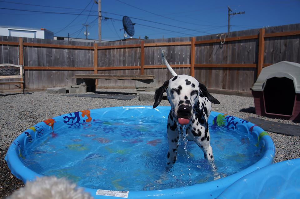 Alice enjoys a cool summer dip at  Paws & Relax