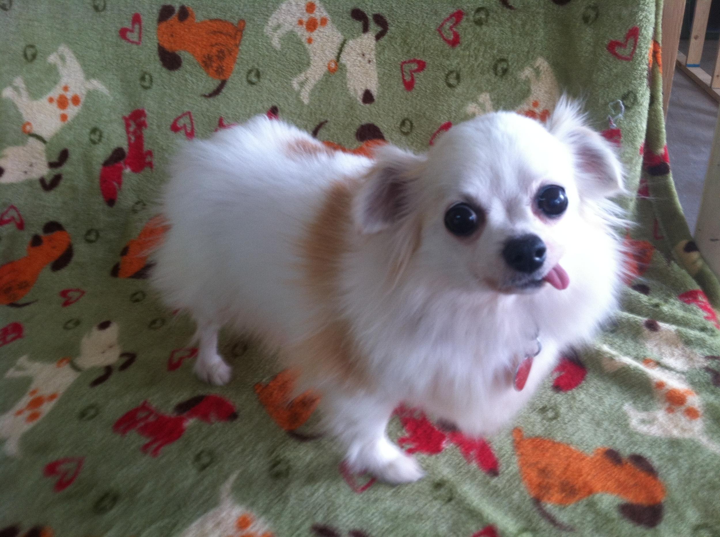 Chihuahua (Noah 15409) female.JPG