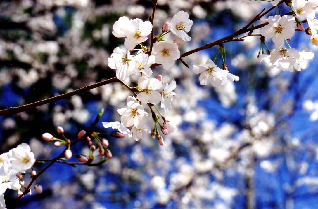 blossoms 3.jpg