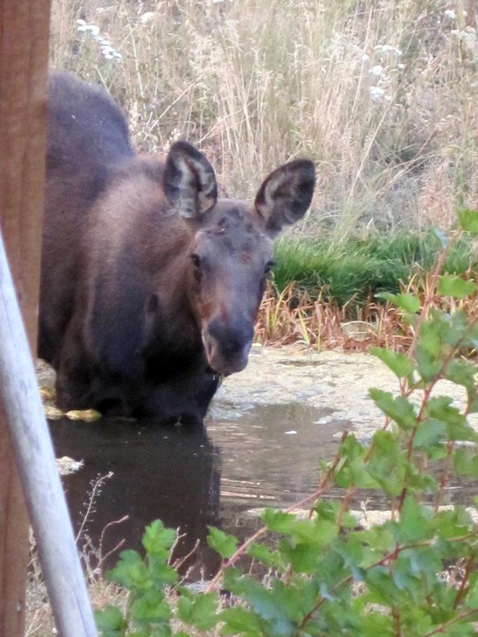calf-at-pond-4.jpg