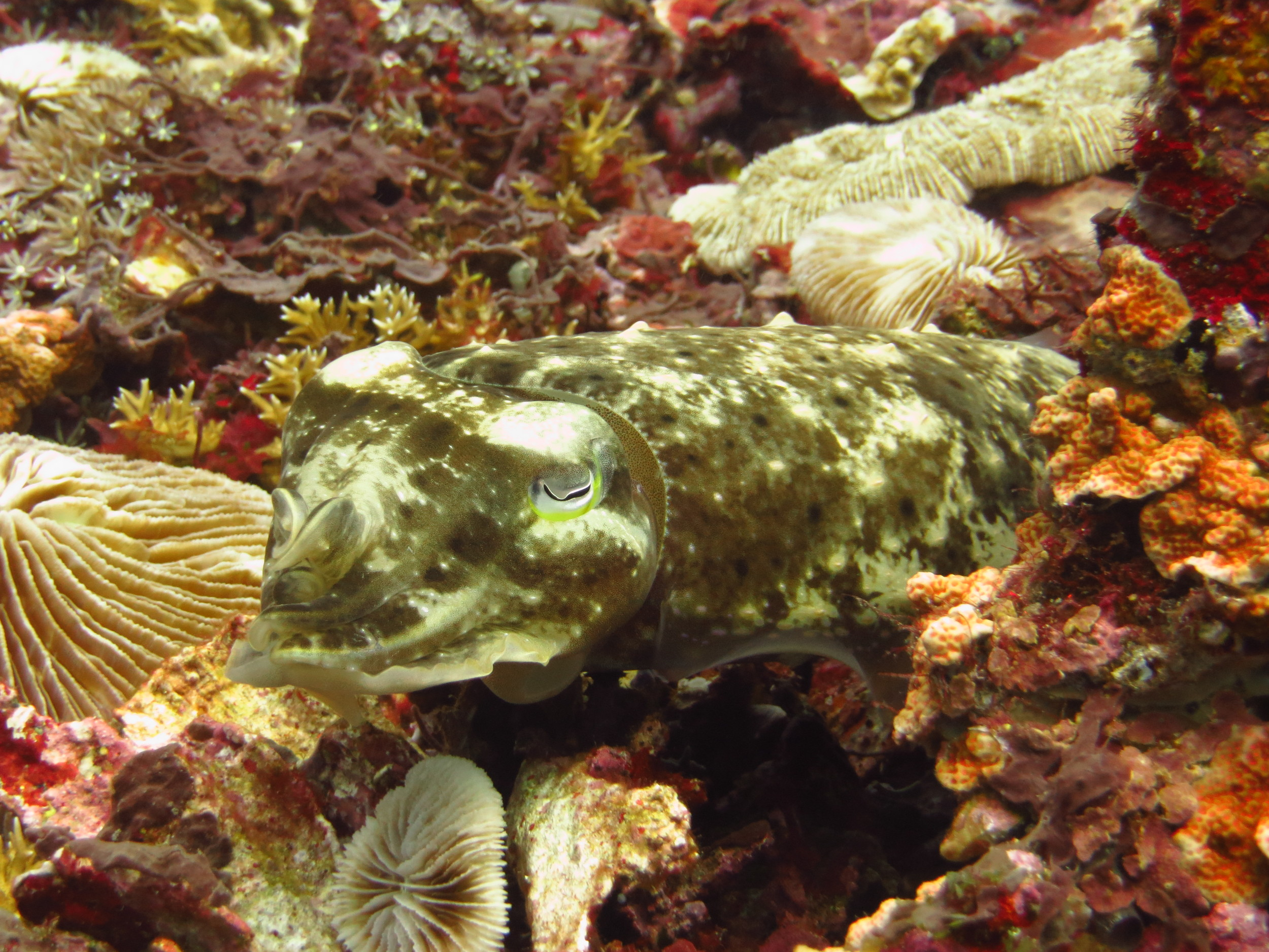 cuttlefish.gilit.diving