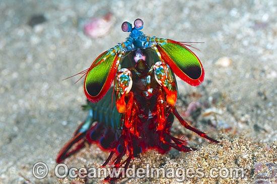 colourfulmantisshrimp