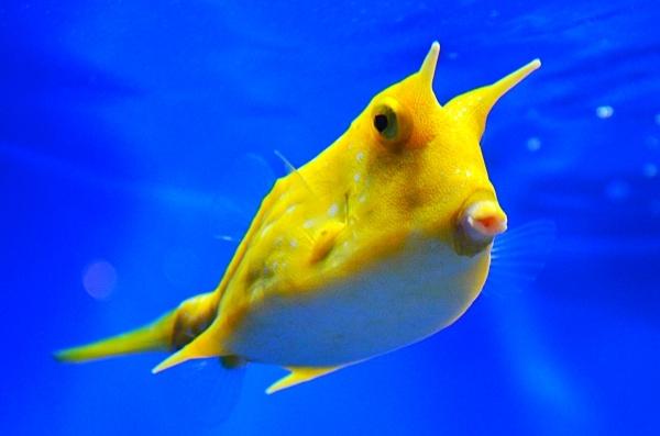 cowfish2