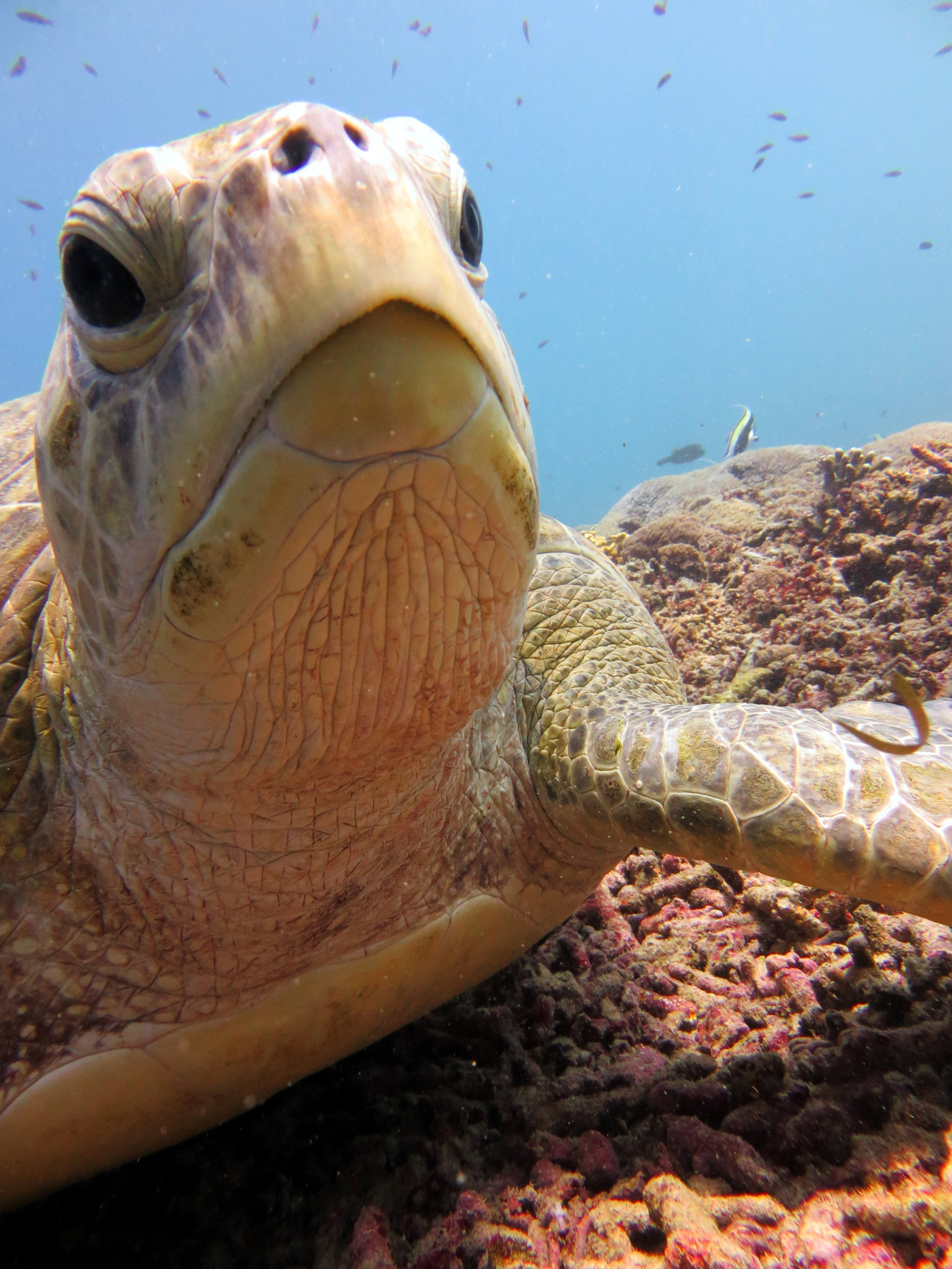 turtle.gilit.indonesia.diving