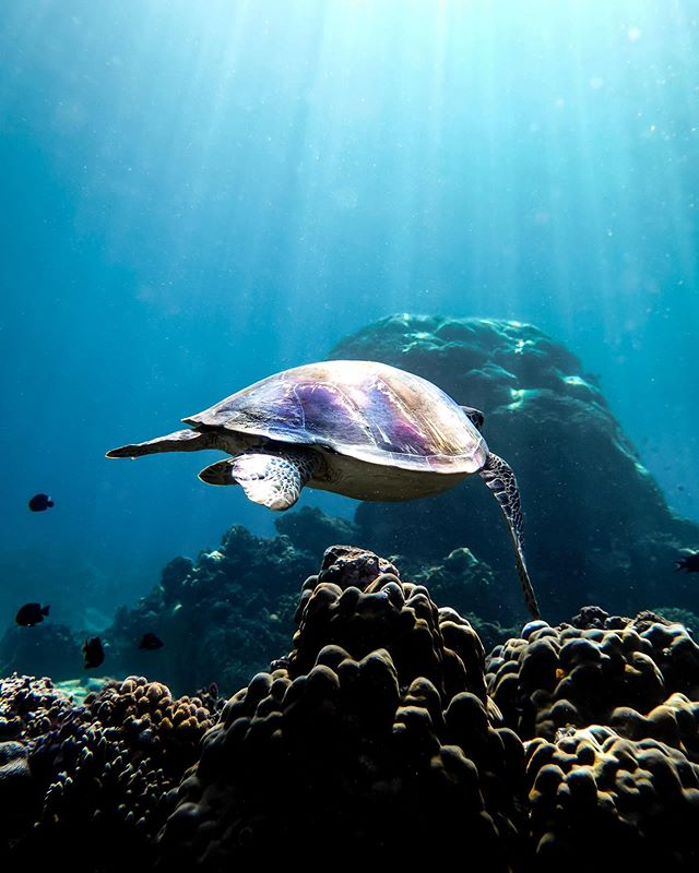Catching rays, even under the waves 💧 We always love seeing these guys on our dives, and we spot them at almost all of our sites 🤙🏻 ⁣ ⁣ Can you name the two types of turtles we spot here around the Gilis? 🐢⁣ ⁣ 📷 @scubastevewillard⁣ 📍 Halik Dive Site⁣ ⁣ #turtle #greenturtle #turtlesofinstagram #divecentralgili #islandlife #travelbali #travelgilis #instadive #scubadivinglife  #everydiveisafundive #gilitrawangan #giliislands #gilimeno #diveindonesia #scubajunkies #scubaworld #divemag #divinglife #diverlife #padi #paditv #wearepadi #oceanholiclife⁣ ⁣