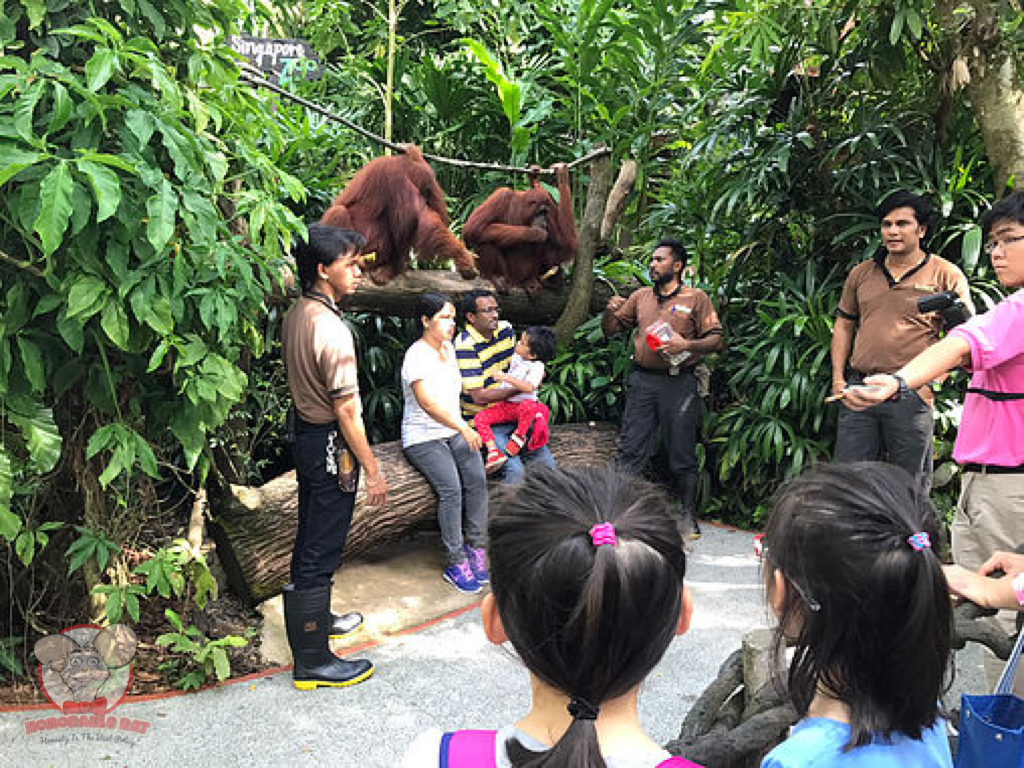 A picture with the orangutans is probably the best souvenir you can get in the Singapore Zoo