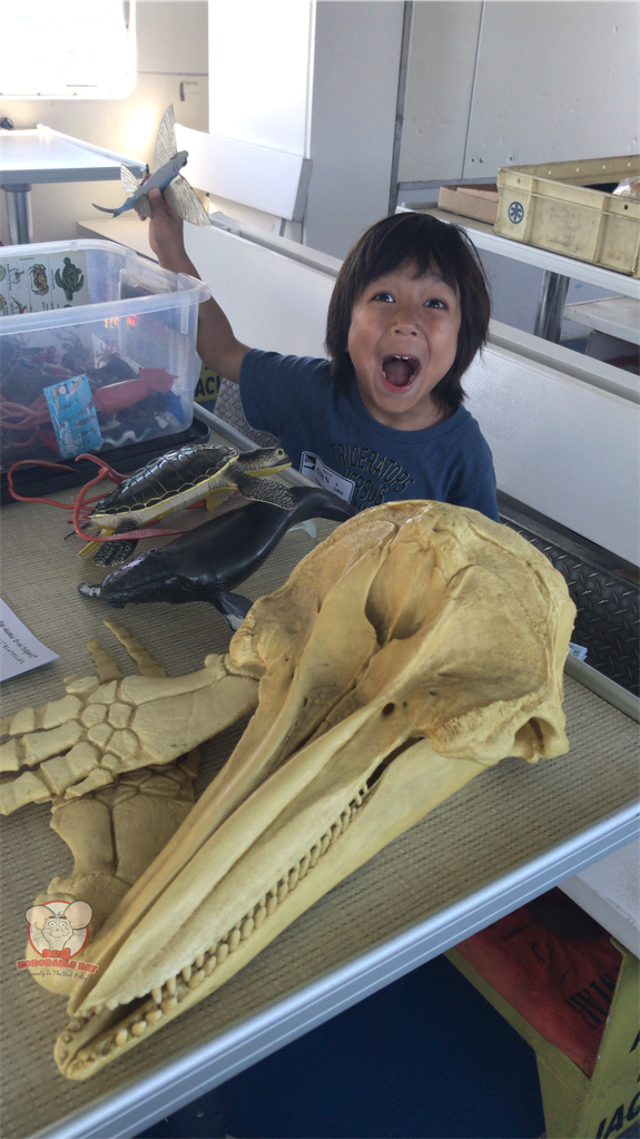 Baby Haku and life-sized replica of a dolphin's skull