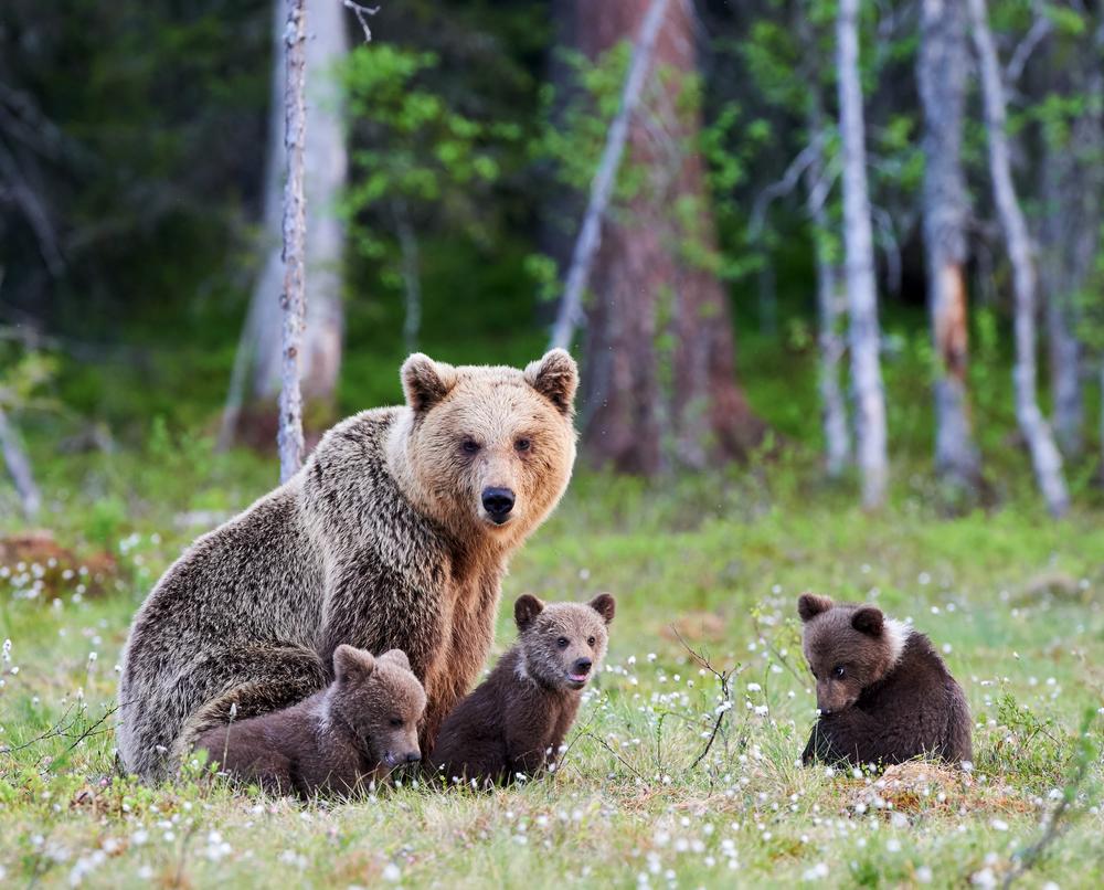Romanian Bear.jpg