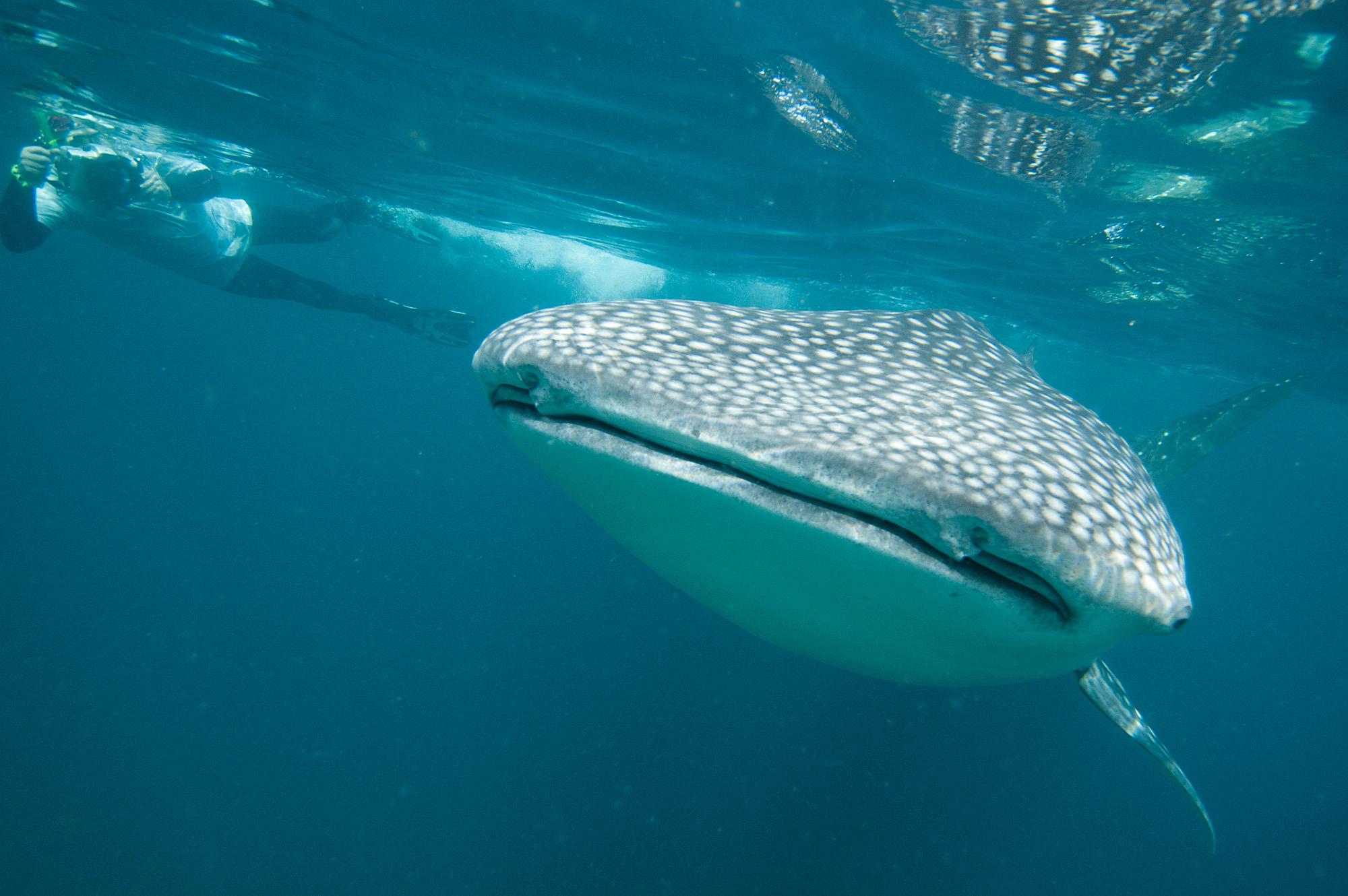 Whaleshark and Snorkeller.jpg