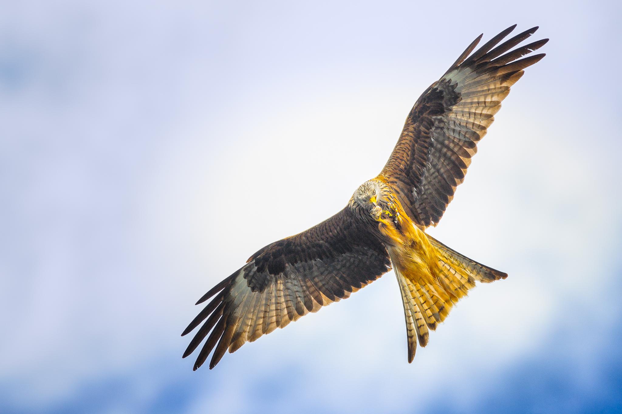 Red Kite (Milvus milvus):: © Russell Watkins :: All Rights Reserved