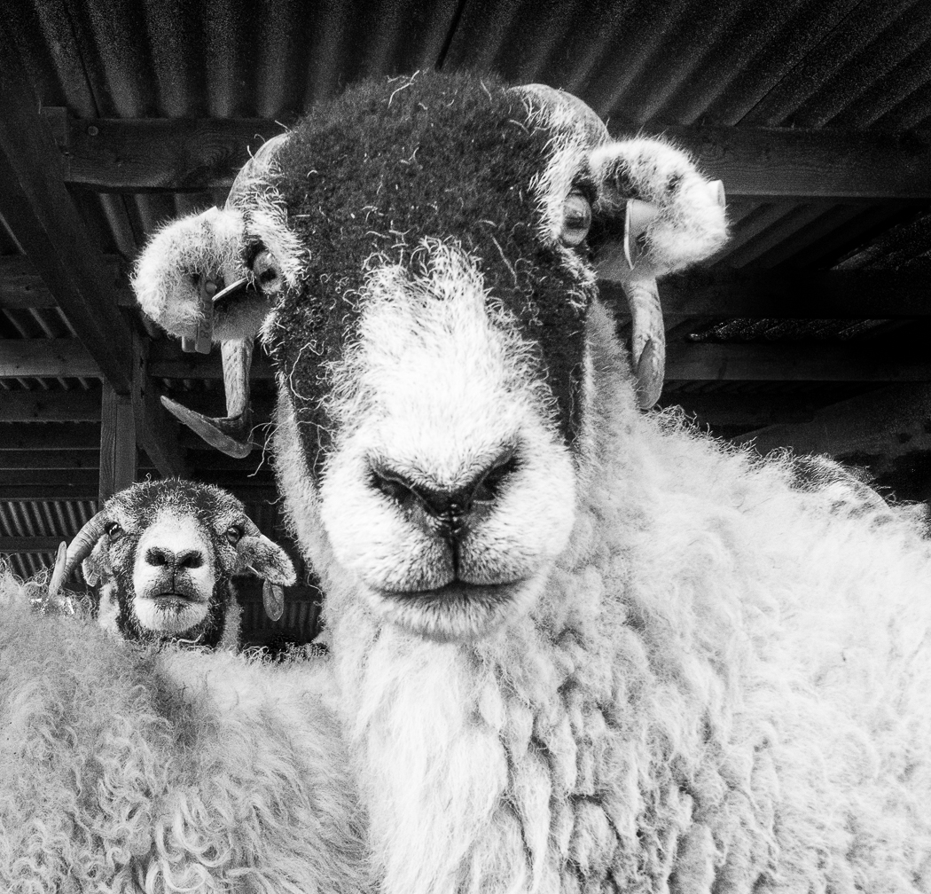 """Inquisitive Rams"" by Harry Silcock, winner of the 2105/16 Projected Digital Image Competition."