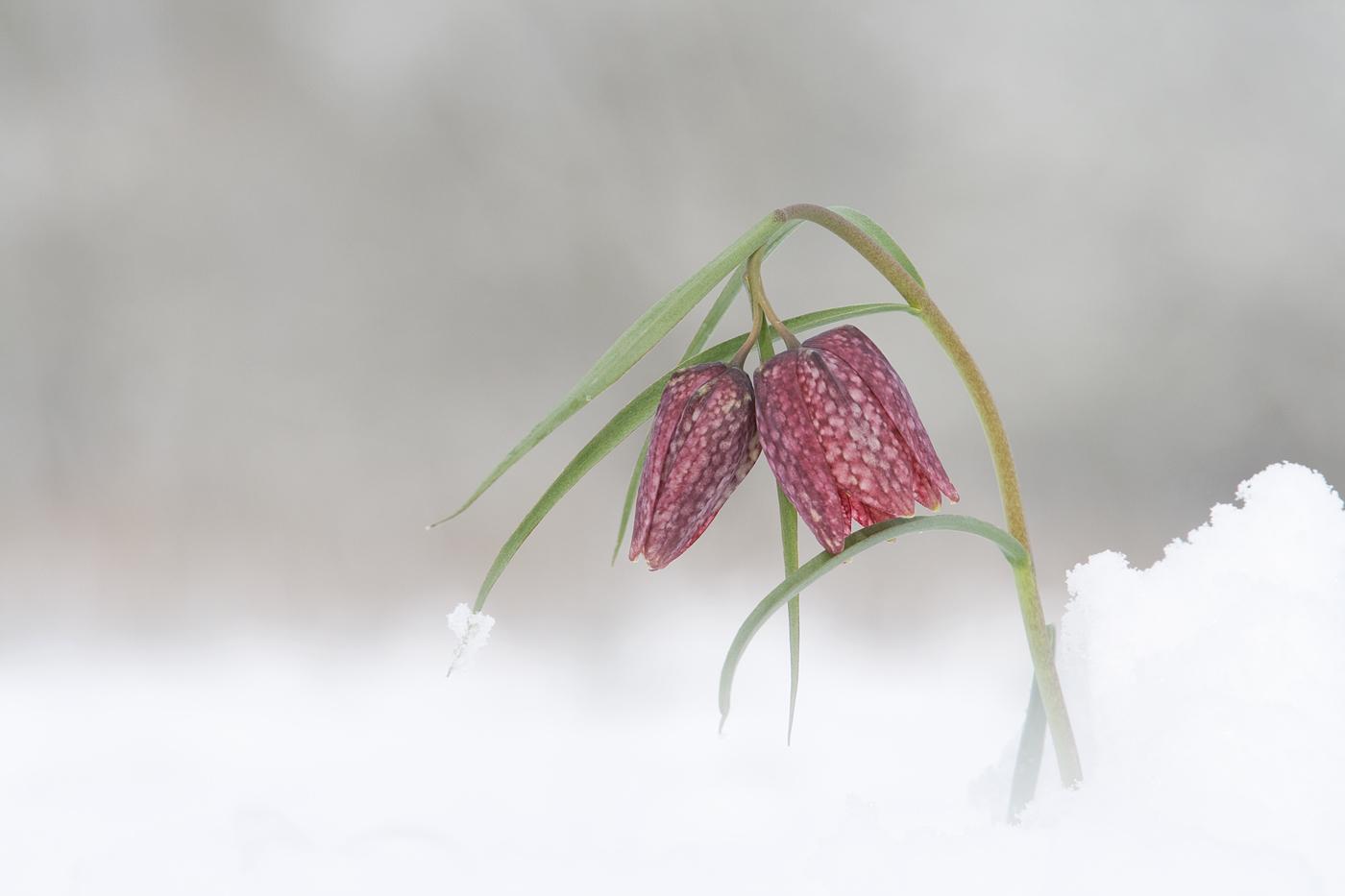 Fritillaries in the Snow_Tony Marsh_Nature.jpg