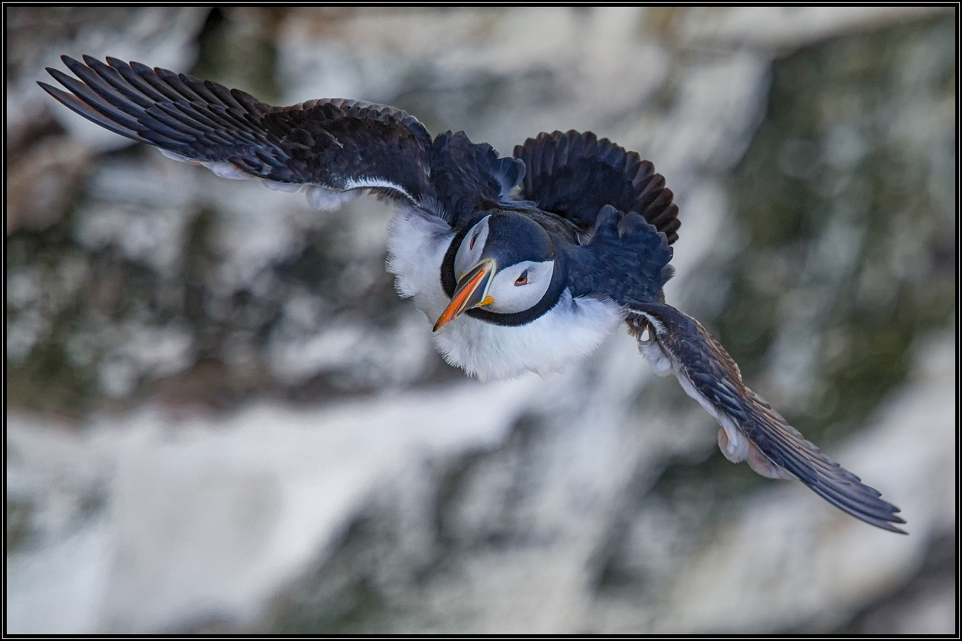 2_puffin on the wing_jhs.jpg