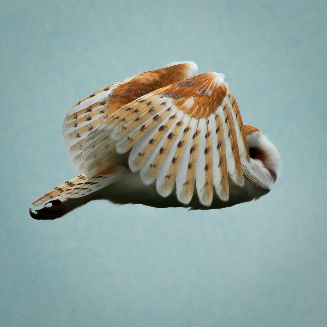 Barn Owl_Ian Smith