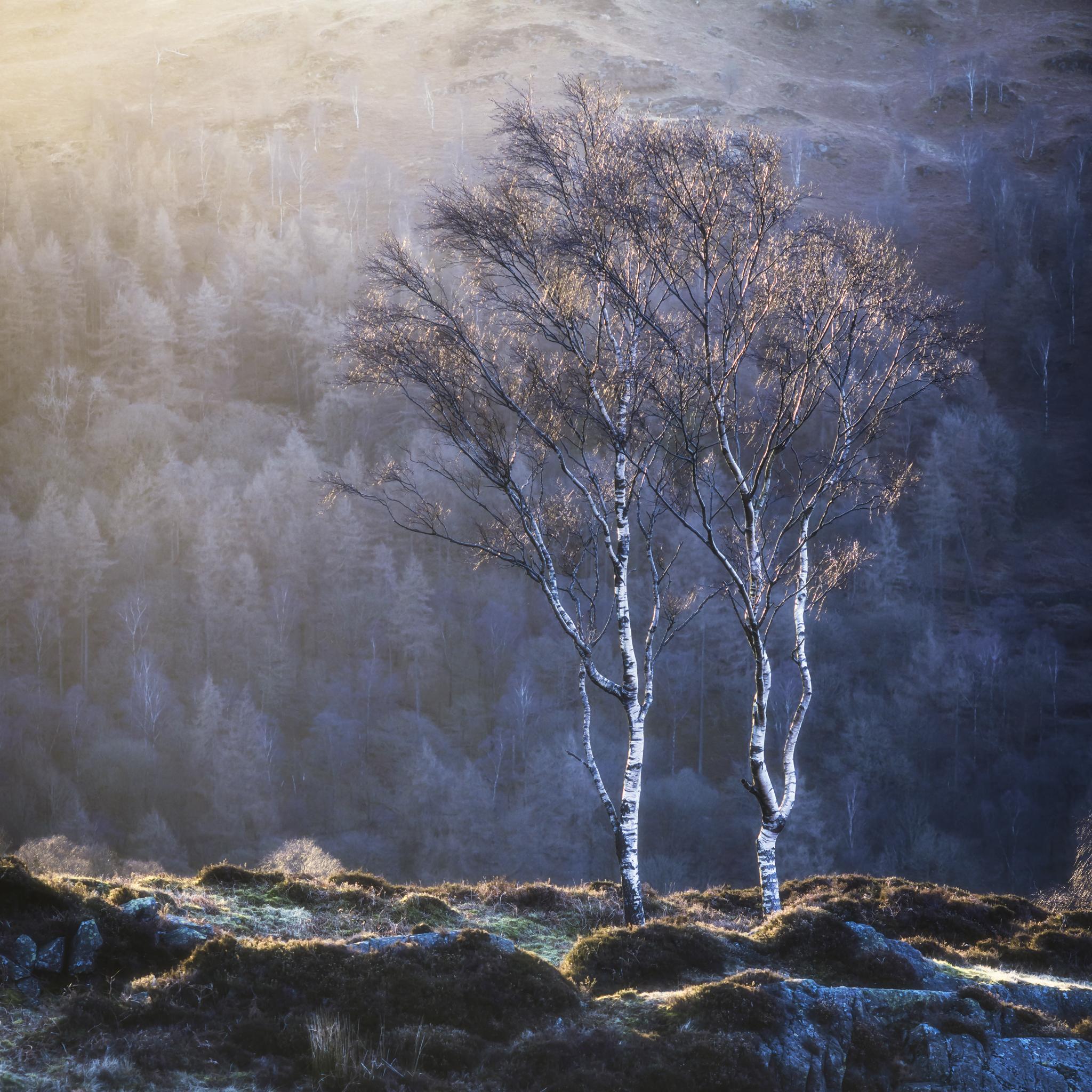 Backlit Birch.JPG