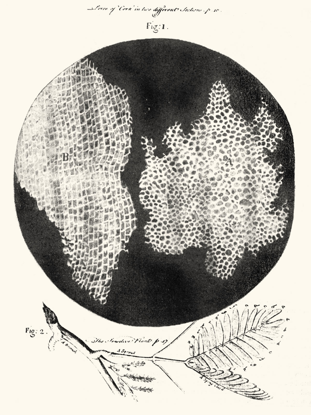 A section of cork, from Hooke, Micrographia (see Exhibit 11). Photo by Curator, from the copy at the University of Michigan Special Collections.