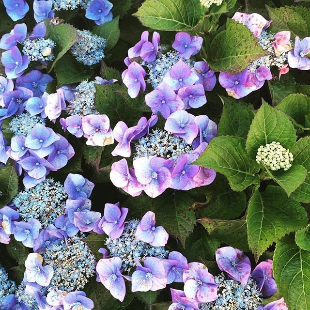 Summer flowers are one of our favorites…especially when they are shot by @lauraflippen! #flowers #beautifulblooms #hydrangea #emissaryartists #lauraflippen 🌸🌼🌷💐🌻