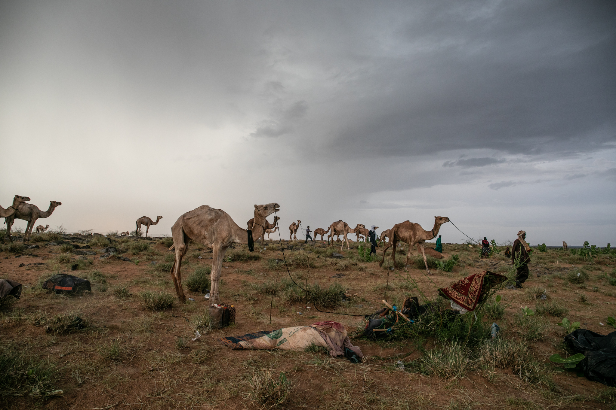 Ingall's oasis and saline soils provide food and water for the tired camels and cattle before taking the route to the south.
