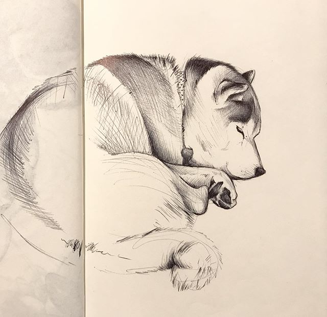 A sleepy Schmoo for #inktober2019 🦊 . . . #inktober #ballpointpenart #drawing #illustration #shibainu