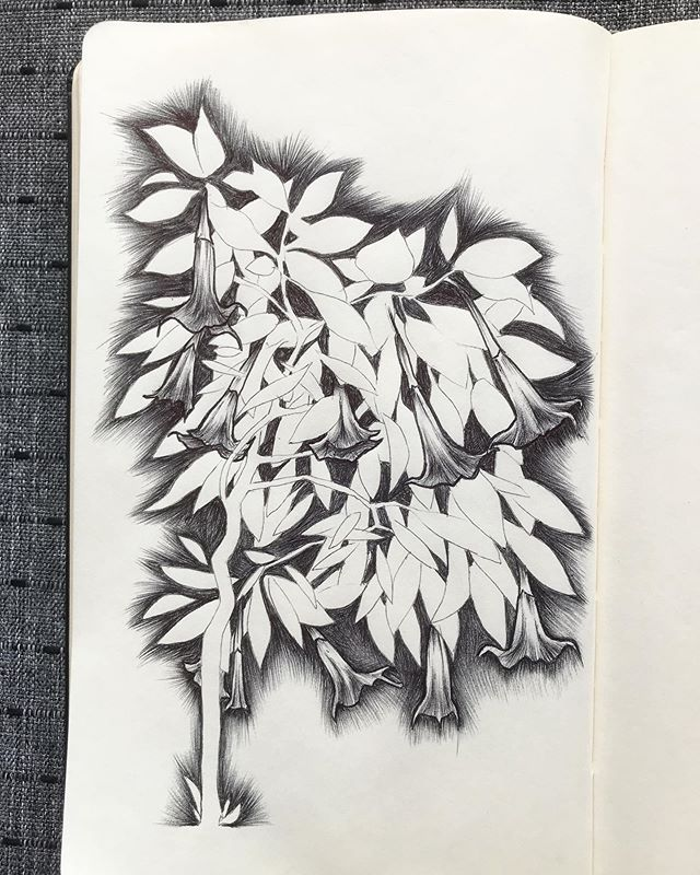 "One of my favorite poisonous plants, the heavenly scented brugmansia. AKA Angel's Trumpet, or ""honks"" as they are known in this house 🌺 . . . #mabsdrawlloweenclub #mabsdrawlloweenclub2019 #inktober2019 #inktober #ballpointpen #illustration #drawing #drawlloween #poisonous #brugmansia #moleskine #sketchbook"