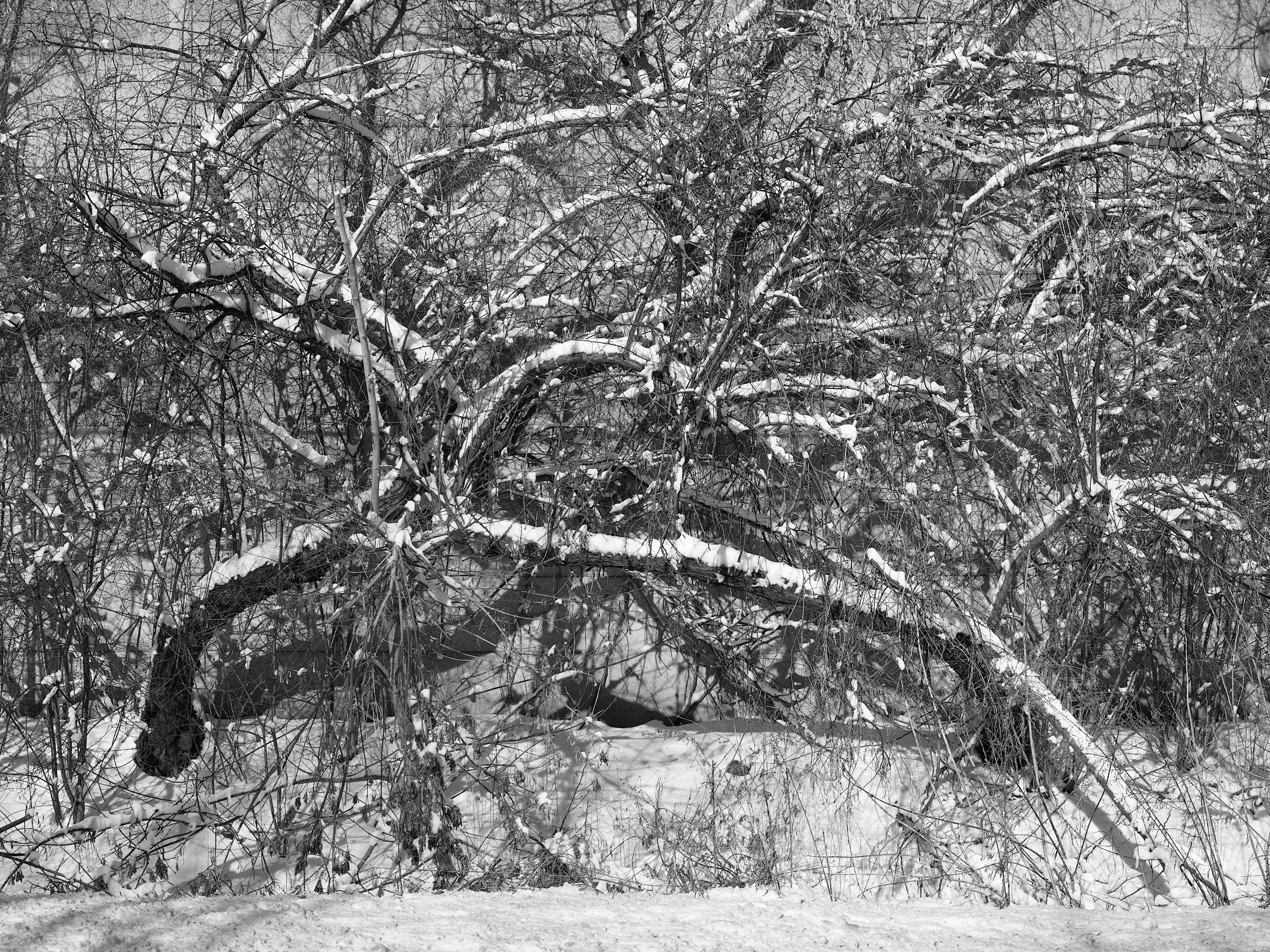 Snowy Shrubs, Mississauga, January 2018