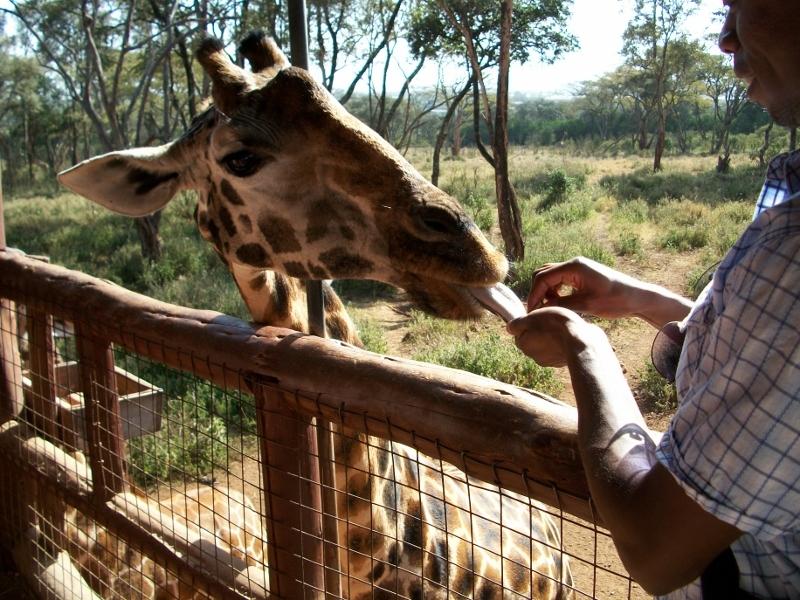 Dr. Nyamora feeding the giraffes at the Giraffe Center, Nairobi