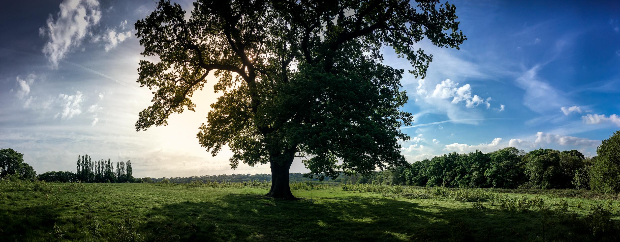 Die Eiche in Hadley Wald, Nord London, das ein wichtiger Teil meiner Kindheit war