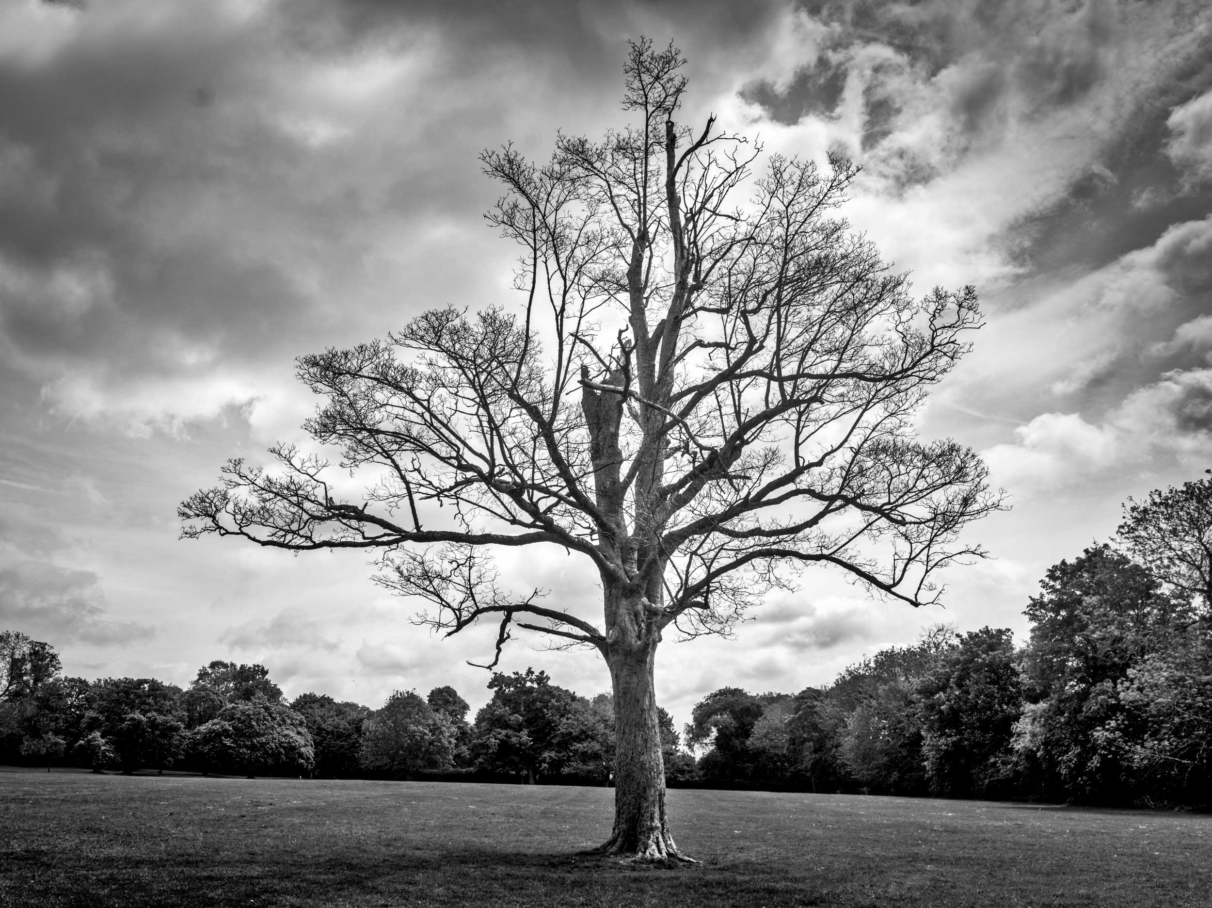 A Tree that was taken as a panorama (as my lens was not wide enough!) just down from the Abbey in St Albans (UK) just before going to the oldest Pub in Town! Fujifilm X-E1 with Olympus 50mm f/1.8 shot at 1/1000 sec f/4.0 ISO 200 with post done in Lightroom CC with additional work done in  Macphun Tonality Pro .