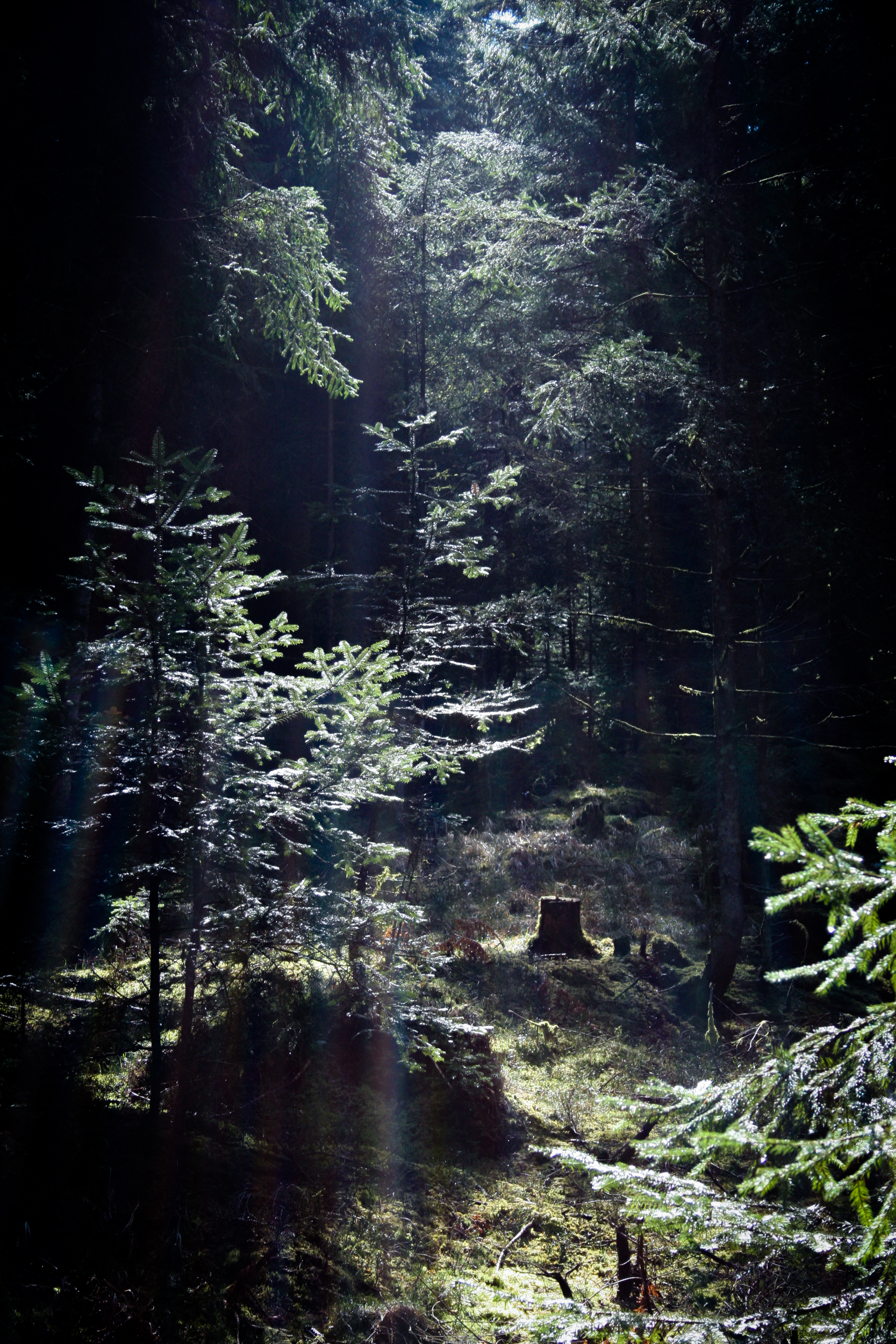 ahorn forest 2008