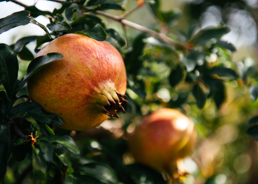 Pomegranate trees were abundant throughout the valley of Phosis.