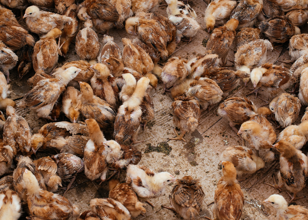 Baby chicks for sale.