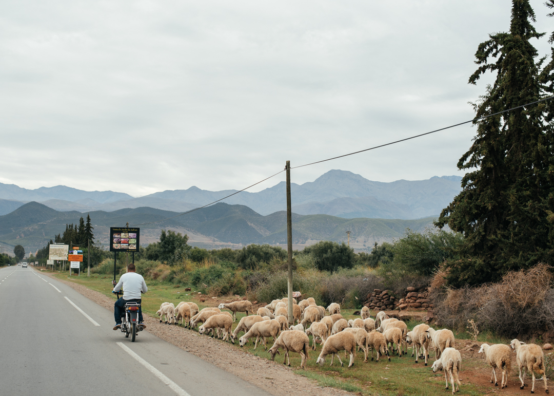 Heading towards the Atlas Mountains with sheep scattered along the side of the road.