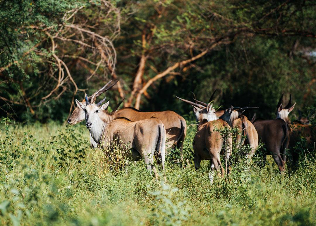 Antelope grazing.