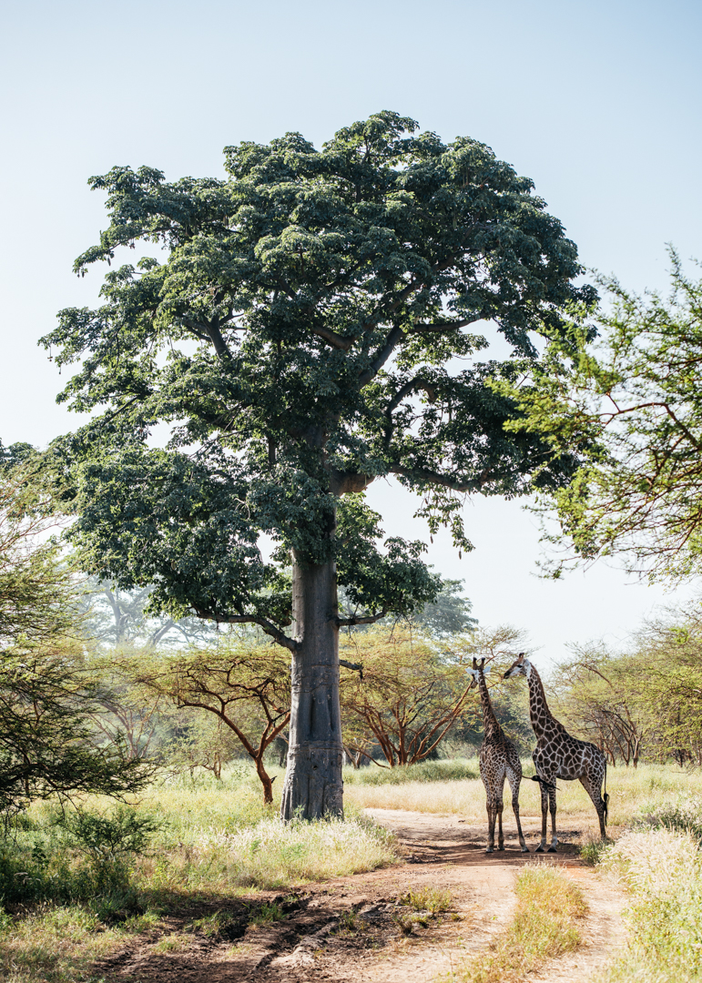 Giraffes hanging out in the shade of the tree.