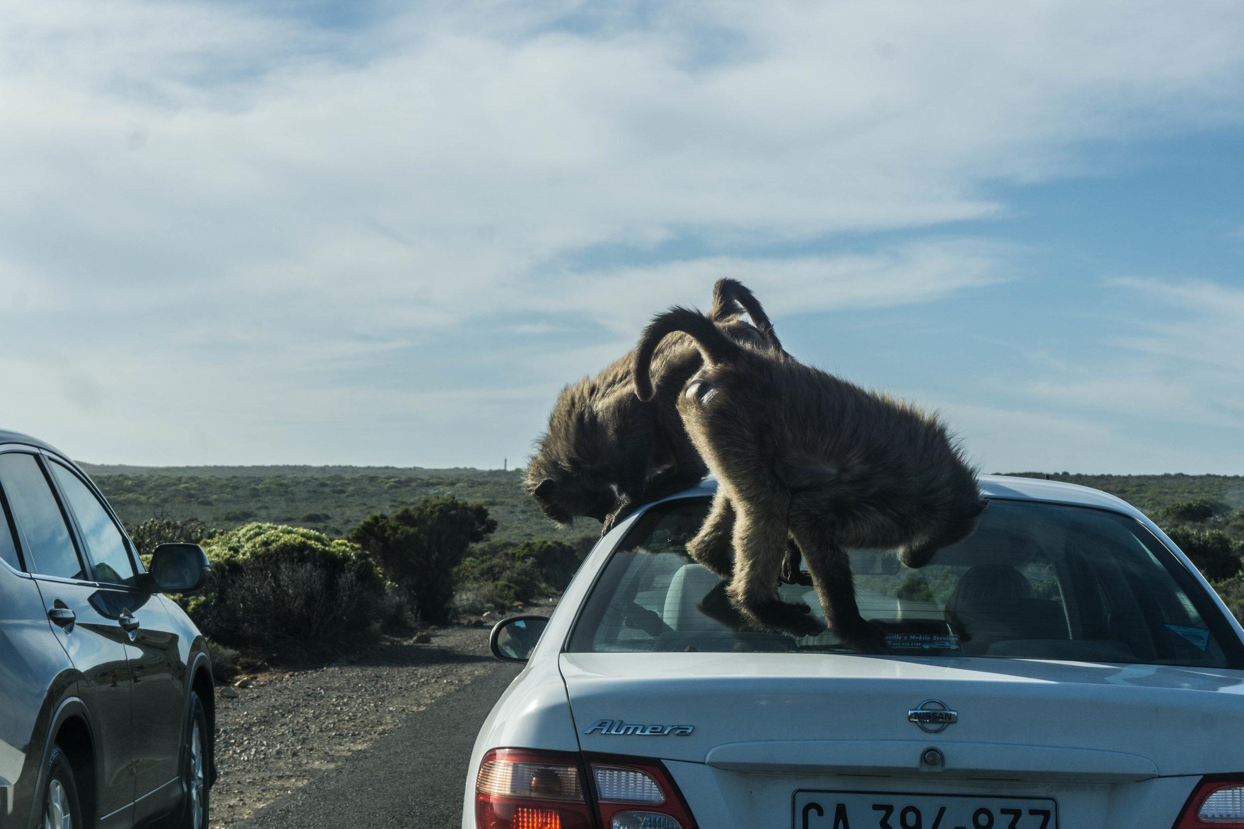 Monkeying around (ha)