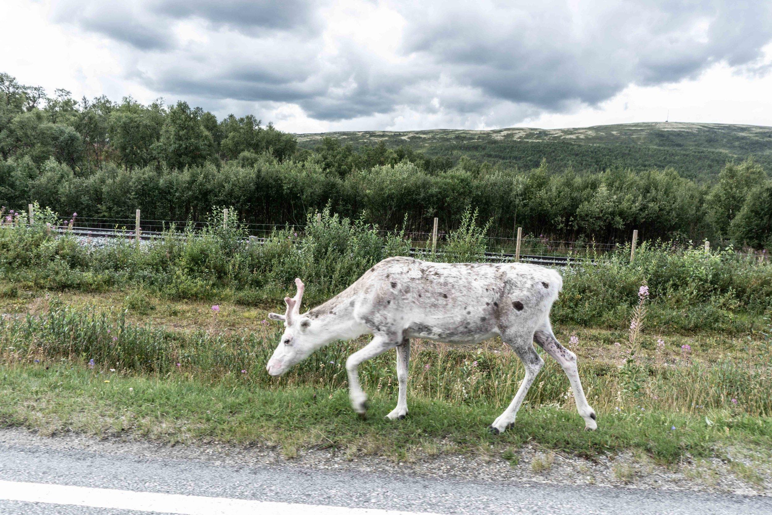 Albino Reindeer!