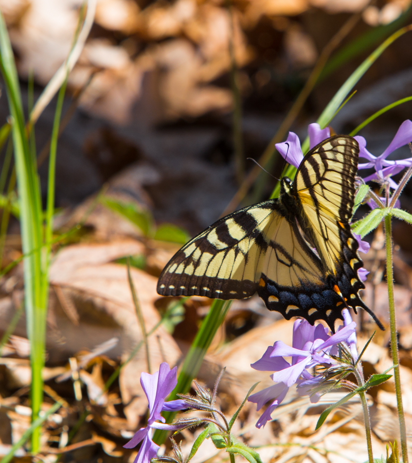 No link here, just a beautiful swallowtail in the Hoosier National Forest.